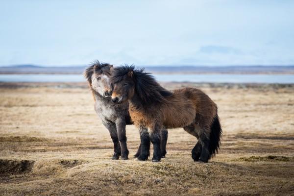 Dos caballos islandeses