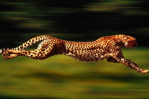 Un guepardo veloz