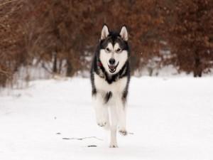 Postal: Un husky corriendo en la nieve