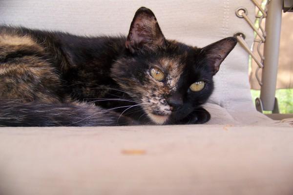 Gato negro con pelo claro en media cara