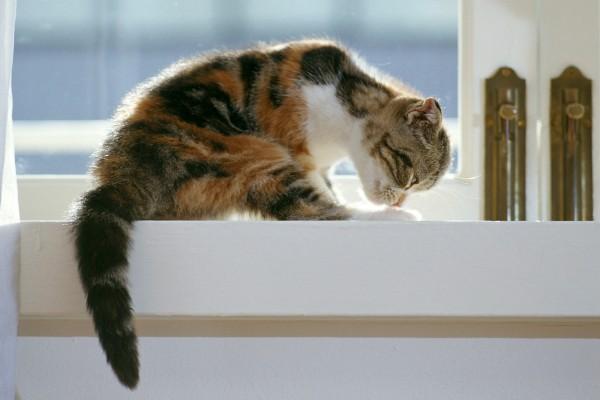 Un gato lamiéndose las patas junto a una ventana