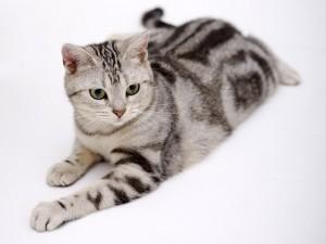 Un gato con pelo gris