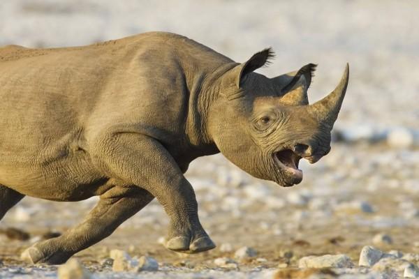 Un rinoceronte enfurecido