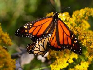 Dos mariposas monarca sobre las flores amarillas