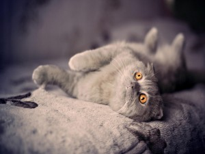 Un bonito gato gris con ojos de color naranja