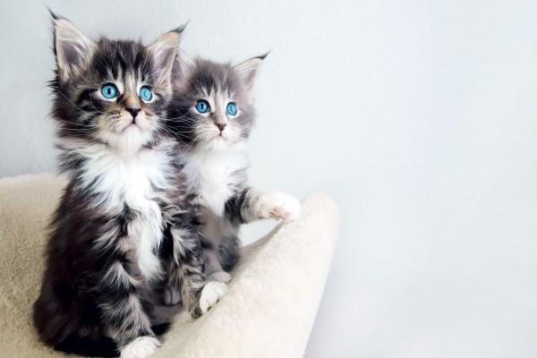 Dos lindos gatitos de ojos azules