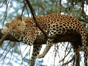 Postal: Leopardo descansando sobre las ramas de un árbol