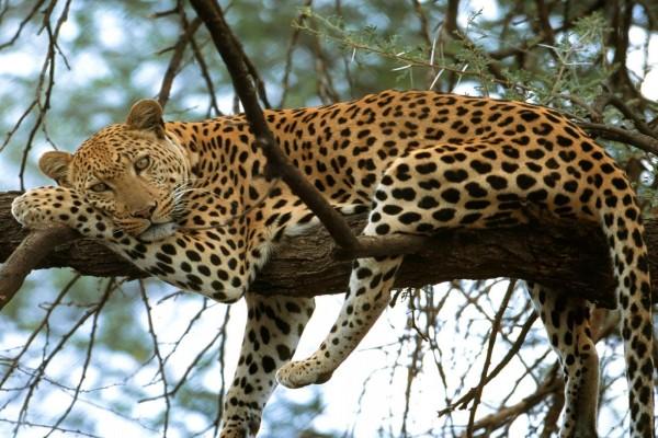 Leopardo descansando sobre las ramas de un árbol