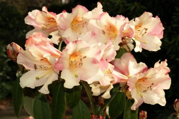 Espectacular ramo de azaleas