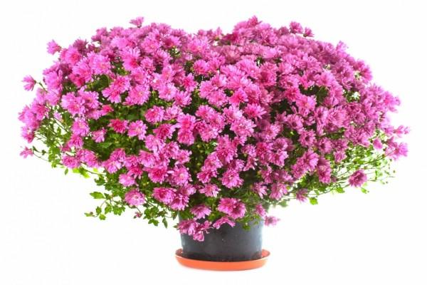 Bellos crisantemos rosas en un recipiente