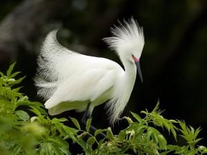 Postal: Magnífica garceta blanca