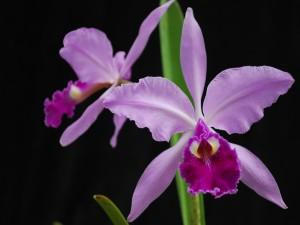 Cattleya gaskelliana (orquídea)
