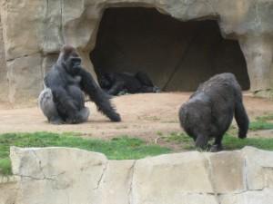 Gorilas en un zoo