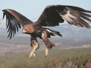 Postal: Águila real en el aire