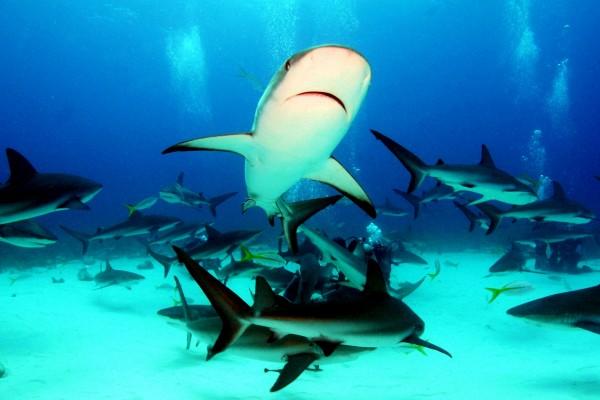 Fondo marino cubierto de tiburones