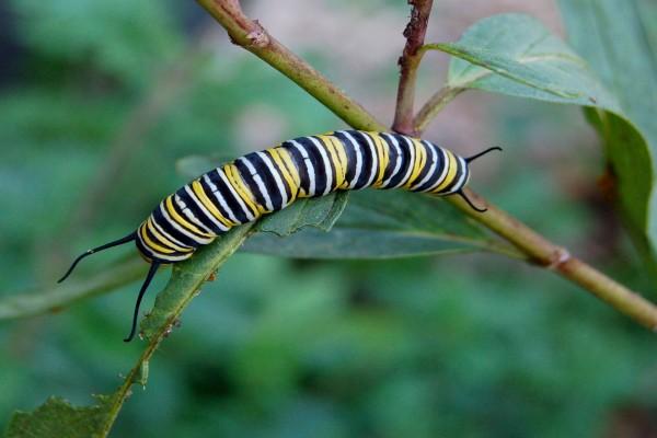 Una oruga de mariposa monarca comiendo hojas
