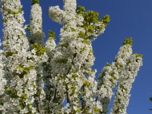 Flores blancas cubriendo las ramas