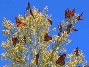 Postal: Bellas mariposas monarca posadas en una planta