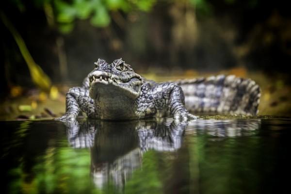 Un cocodrilo junto al agua