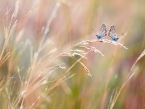 Dos mariposas sobre la misma espiga de trigo