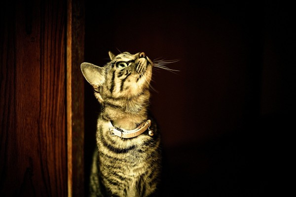 Un gato con collar y cascabel