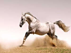 Un musculoso caballo blanco