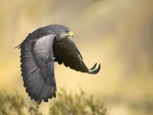 Un halcón gris en vuelo