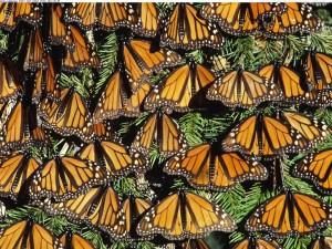 Mariposas monarca posadas en un árbol