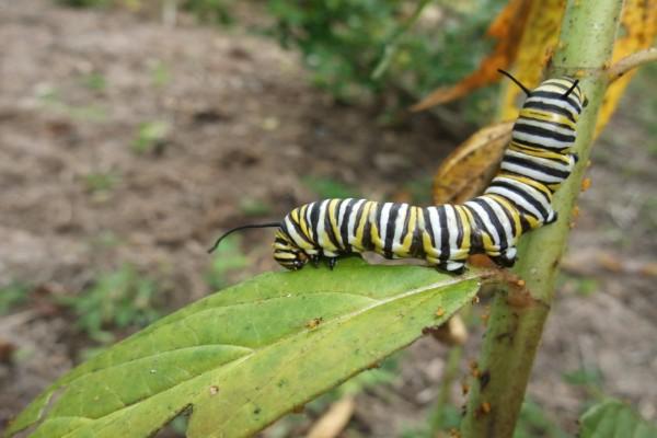 Oruga de mariposa monarca y otros insectos en una planta