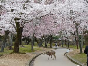 Cervatillo en un parque con cerezos en flor