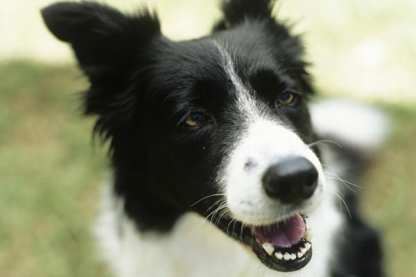 Los dientes de un perro Border Collie