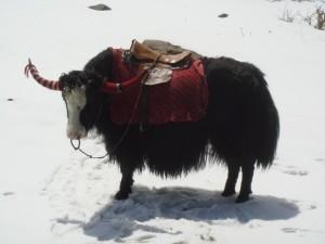 Un yak sobre la nieve