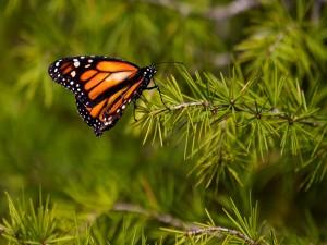 Postal: Una mariposa monarca posada en una rama