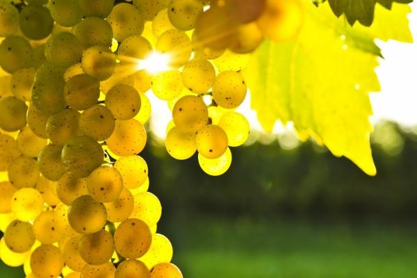 Uvas blancas madurando al sol