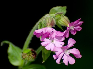 Bonitas flores de color rosa en la misma planta