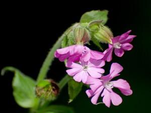 Postal: Bonitas flores de color rosa en la misma planta