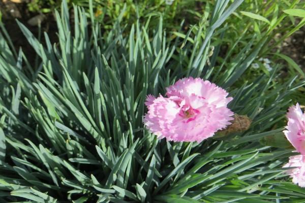 Claveles rosas en la planta