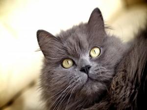 Los ojos de un gato gris