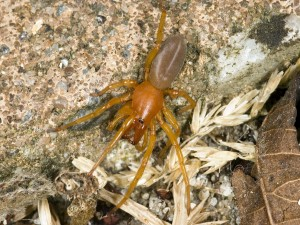Postal: Araña (Dysdera crocata)