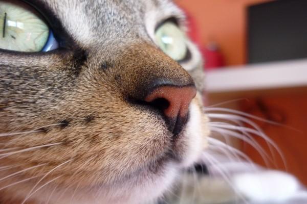 La nariz de un gato