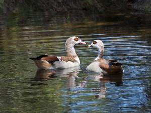 Pareja de patos en el agua