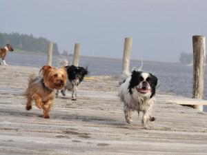 Perros corriendo por el muelle