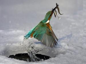 Postal: Martín pescador saliendo del agua helada con tres peces en el pico