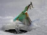 Martín pescador saliendo del agua helada con tres peces en el pico