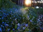 Flores azules iluminadas por el sol al amanecer