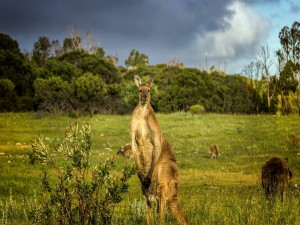 Canguros en una pradera verde de Australia