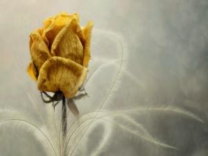 Postal: Rosa amarilla secándose