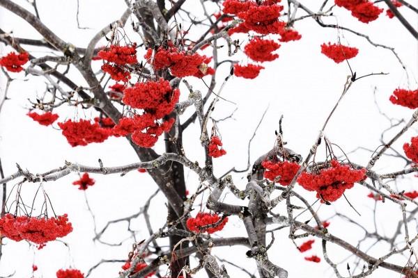 Bayas rojas en un árbol