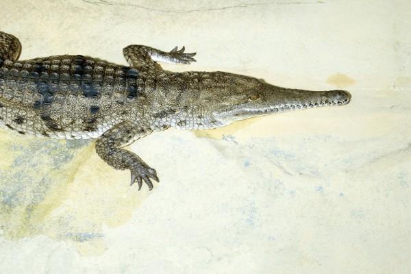Un cocodrilo de hocico alargado