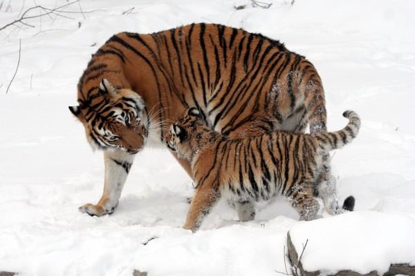 Cachorro de tigre junto a su madre caminando por la nieve